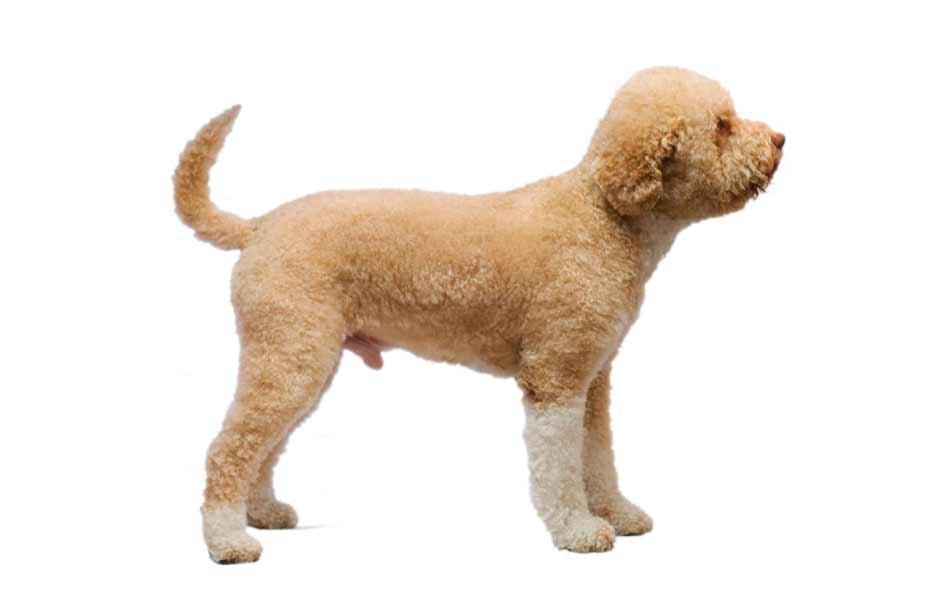 Tosatura del cane Lagotto