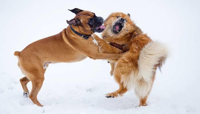 Aggressività intraspecifica del cane