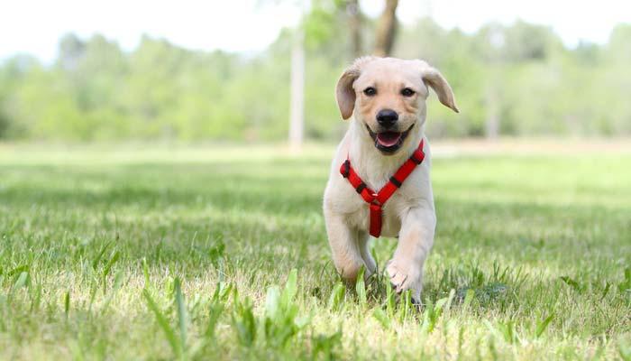 CONSIGLIO PETTORINA per-cani modelli e guida acquisto