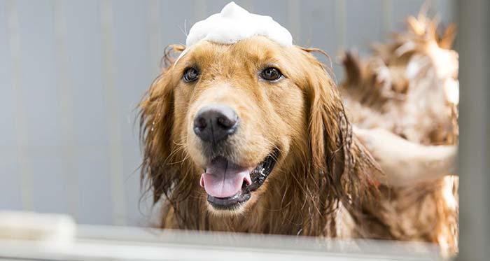 Shampoo a secco per lavare il cane