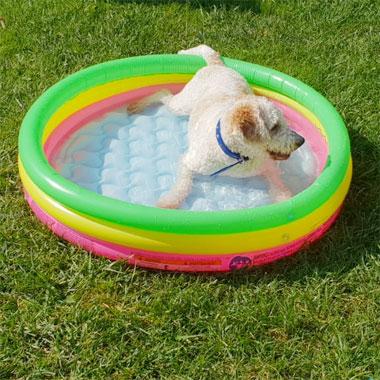 Lagotto Romagnolo in piscina