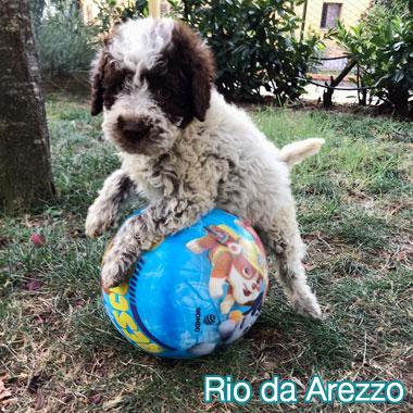 Lagotto Romagnolo 2 mesi Rio da Arezzo