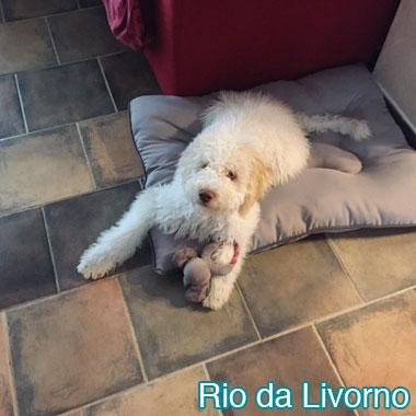 Lagotto Romagnolo - Rio da Livorno