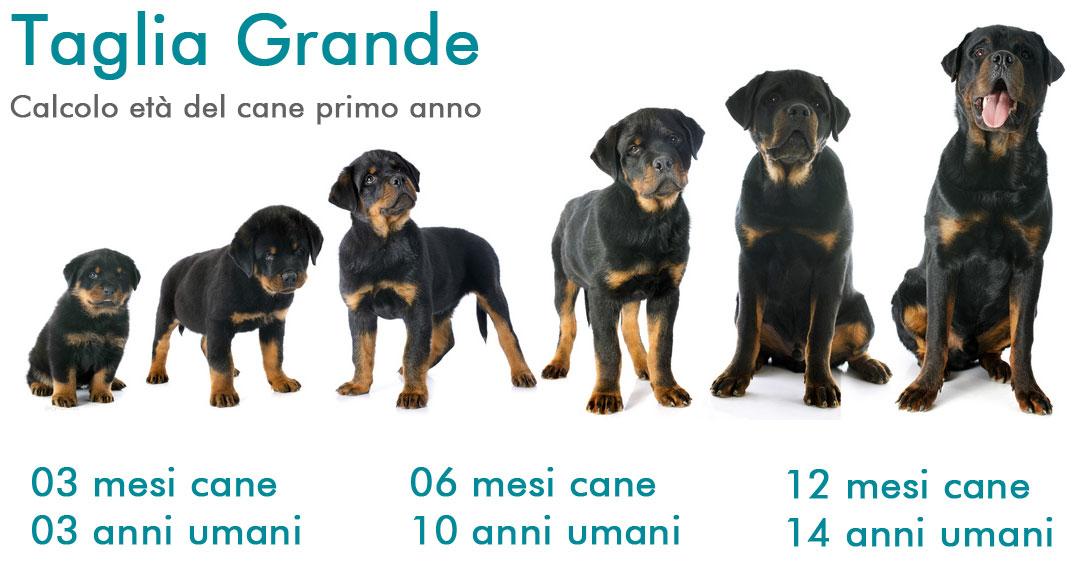 Calcolare eta del cane in anni: umani taglia grande