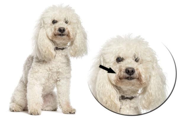 Cane con pelo bianco ingiallito