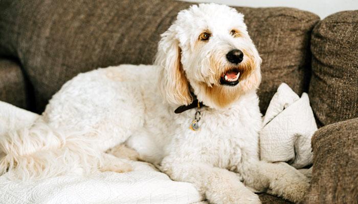 Come far tornare bianco il pelo del cane ingiallito