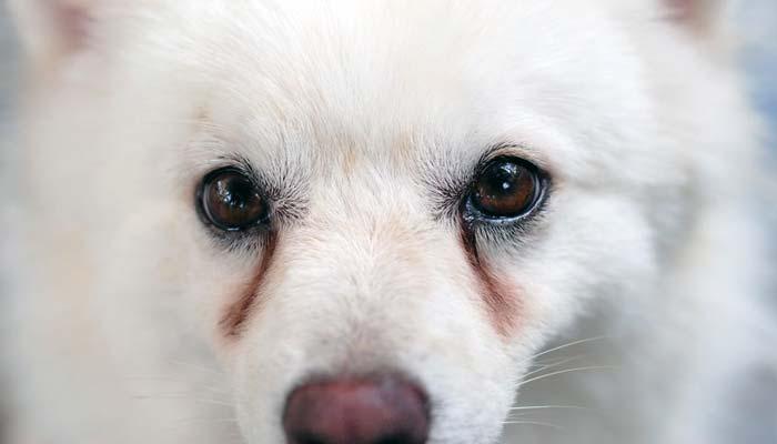 Macchie da lacrimazione nel cane
