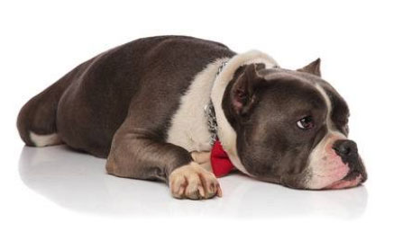 Cane affaticato dopo aver mangiato troppo velocemente