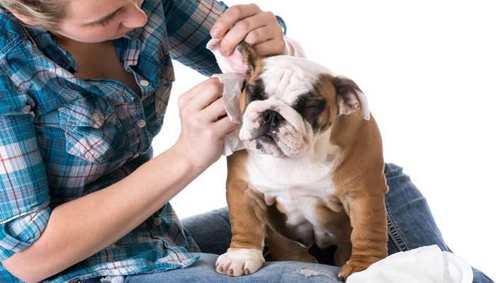 Come pulire le orecchie del cane in odo efficace