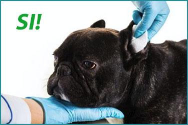 Modo corretto di pulire le orecchie al cane