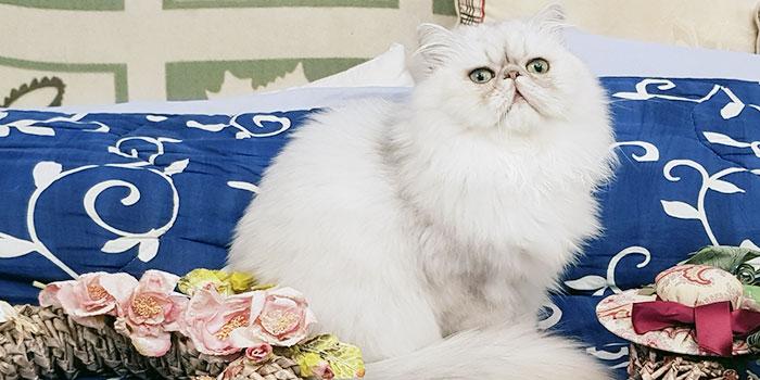 Allevamento gatti persiani Diamondfashioncat