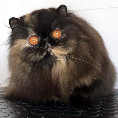 Gatto persiano adulto