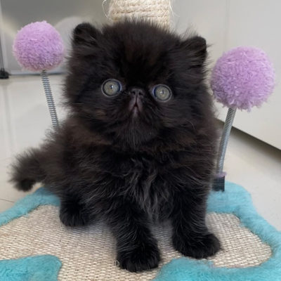 Cucciolo di gatto persiano nero