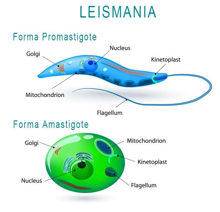 LEISHMANIOSI CANINA variazioni di forma delle cellule durante il ciclo di vita