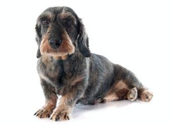 Cane con zampe posteriori che cedono
