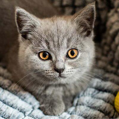Gatto razza British Shorthair